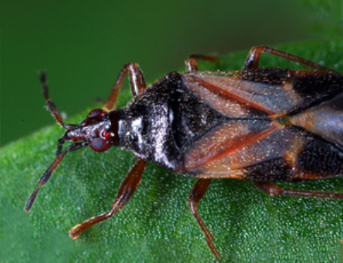 ANTHOCORIS MIP